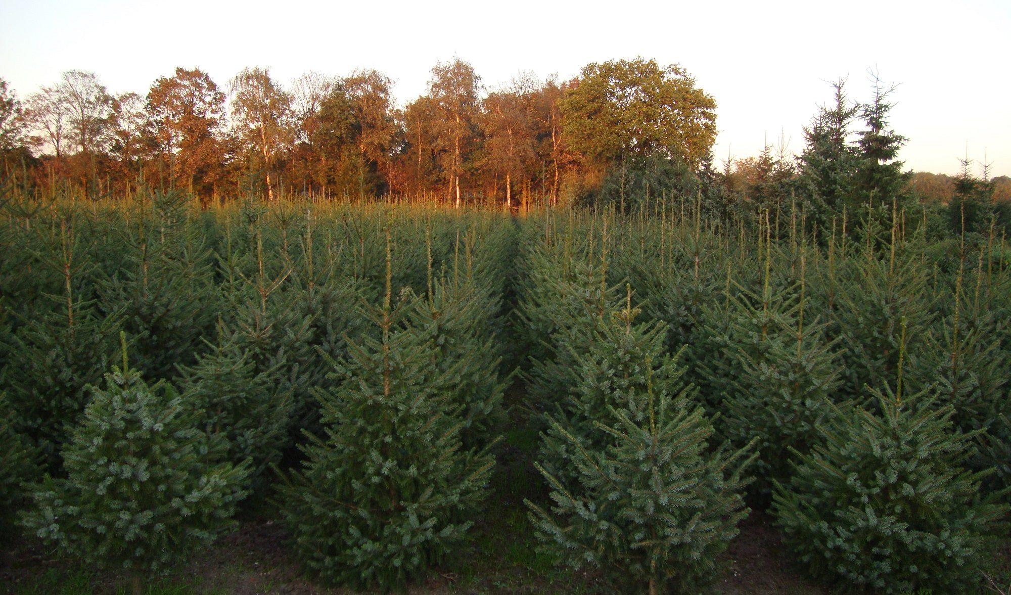 tuinderij van de ven kerstbomen